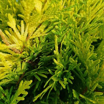 Thuja occidentalis Golden Globe foglia