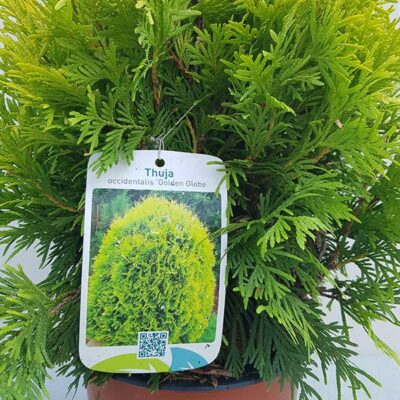 Thuja occidentalis Golden Globe label