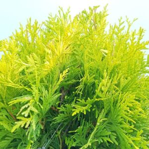 Thuja occidentalis Golden Globe sfumatura