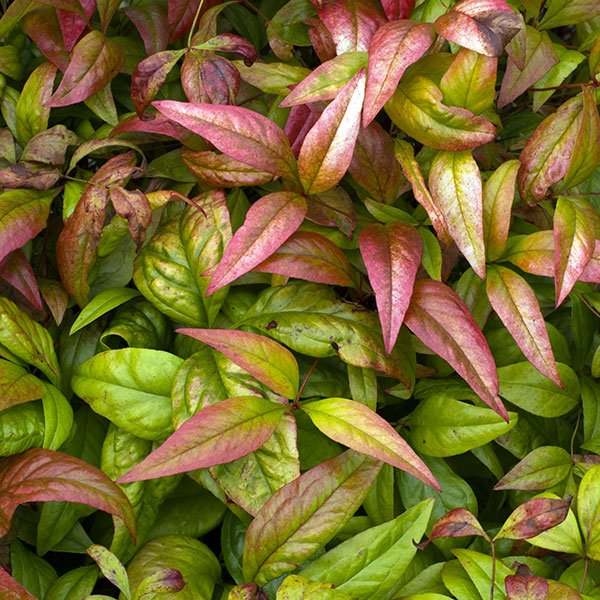 Nandina fire power foglie