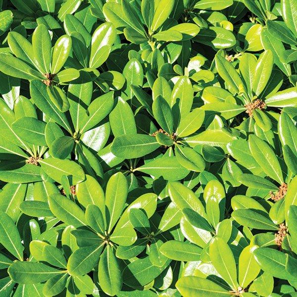Le foglie color verde lucente del Pittosporum tobira nano