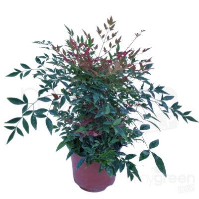 Nandina obsession pianta